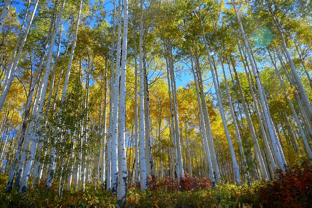 Aspen trees in Steamboat Springs