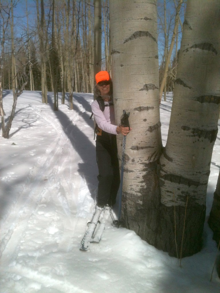 Large aspen tree in Steamboat Springs