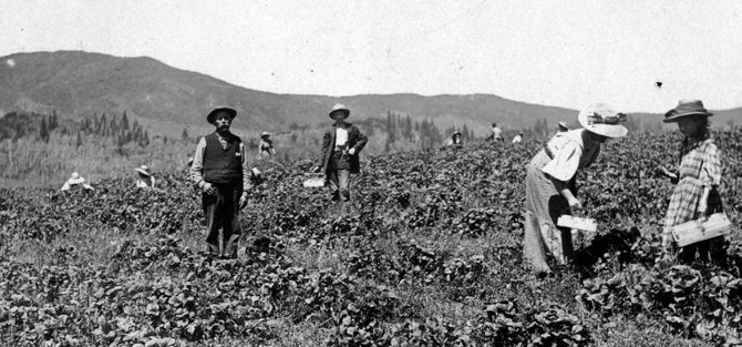 Picking strawberries in Strawberry Park in 1915. (Photo courtesy of Tread of Pioneers Museum)